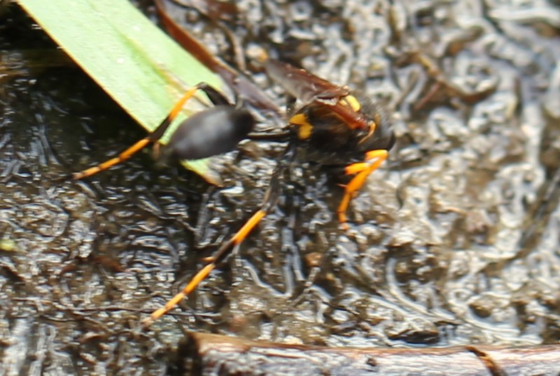black-and-yellow mud dauber digging in mud