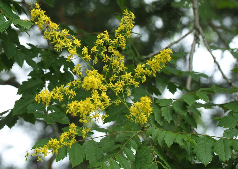 Goldenrain tree in flower