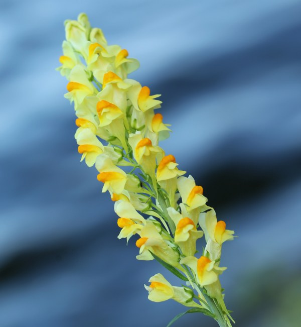 Orange and yellow toadflax flowers