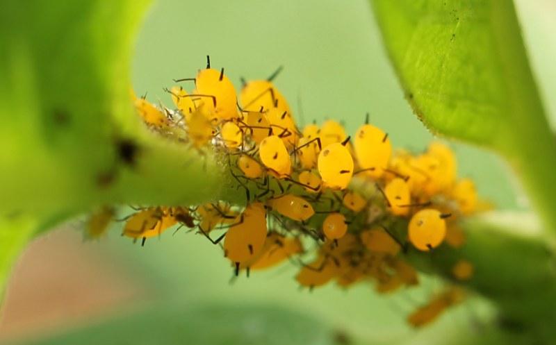 Oleander aphids on milkweed stem