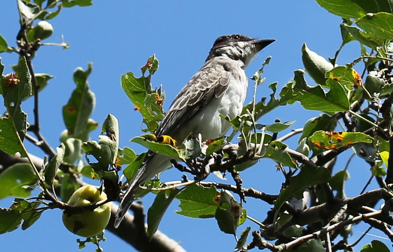 Eastern kingbird in a crabapple