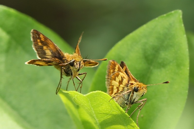 A pair of Peck's skippers