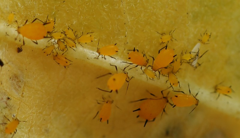 Various sizes of oleander aphids