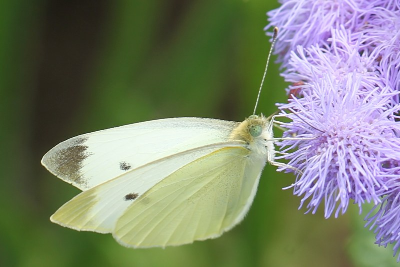 Cabbage white on purple flower