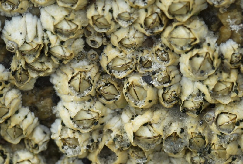 Northern rock barnacles