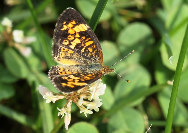 Pearl crescent butterfly on whtie clover