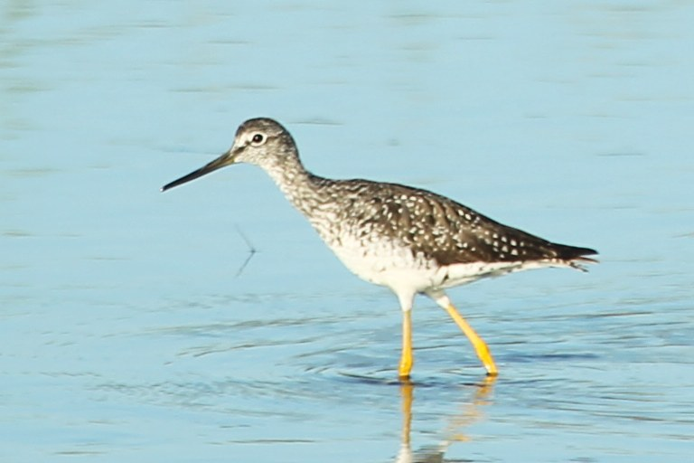 Lesser yellowlegs wading