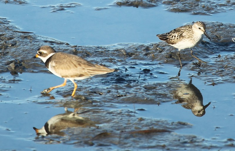 Semipalmated plover and semipalmated sandpiper in a salt marsh