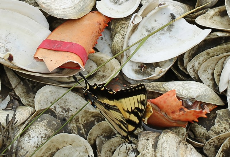 eastern tiger swallowtail on shells
