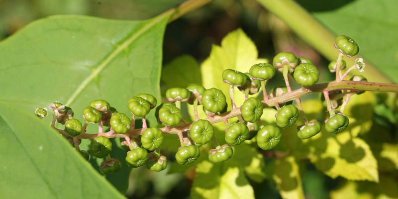 Unripe pokeweed berries