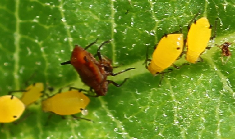 Red sunflower aphid