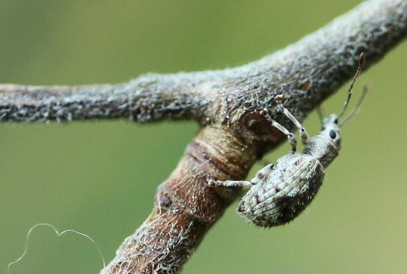 Weevil on American elm