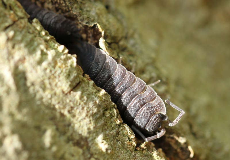 Rough wood louse in tree bark