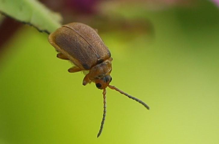 Purple loosestrife beetle