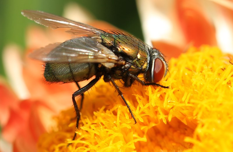 green bottle fly on zinnia
