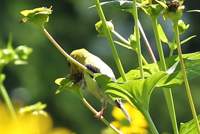 American goldfinch eating seeds of cup plant