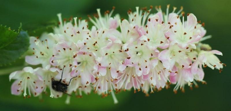 Pink summersweet flowers