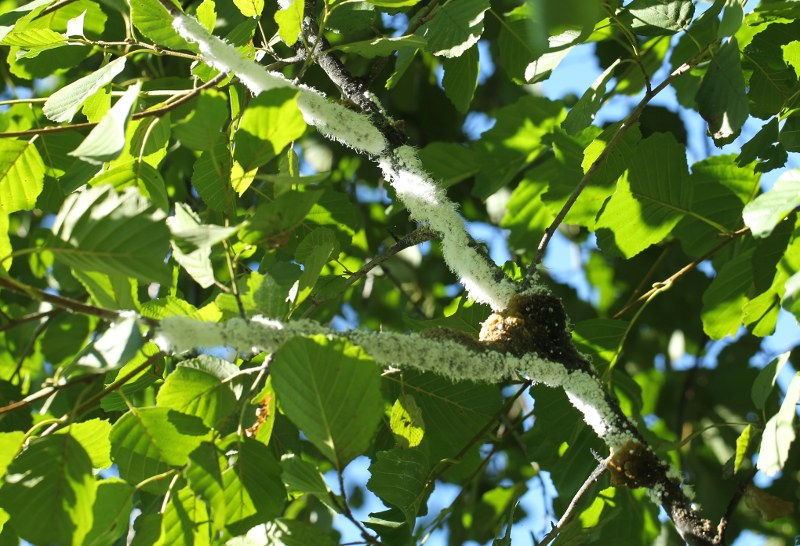 European alder branch with a woolly aphid colony.