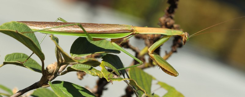 Chinese mantid