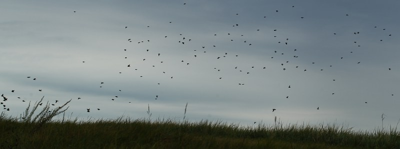 Flock of tree swallows on Spectacle Island