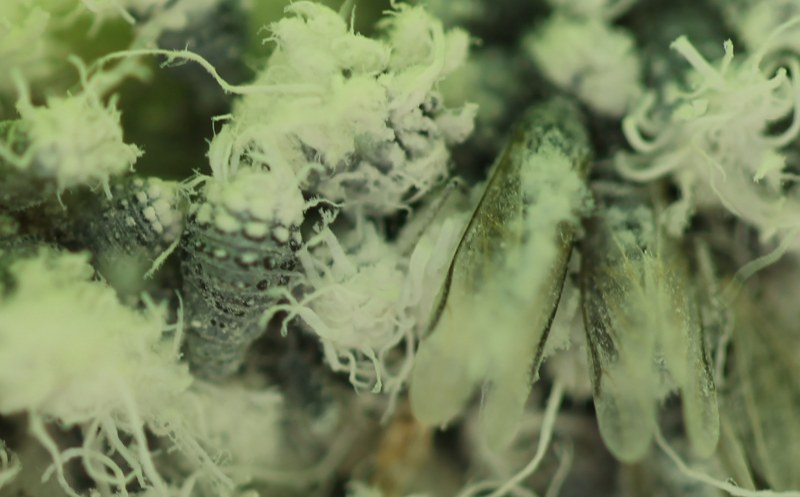 Aphids secreting white waxy substance.