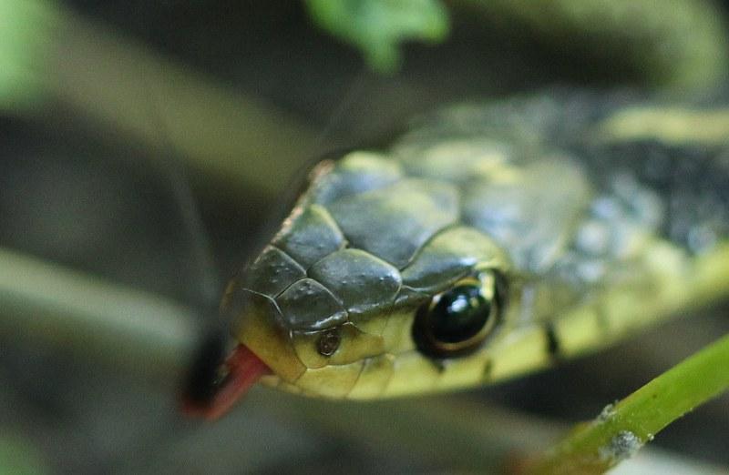 Garter snake flicking its tongue