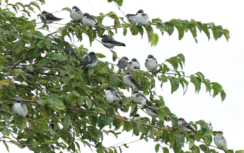 Tree swallows on elm tree