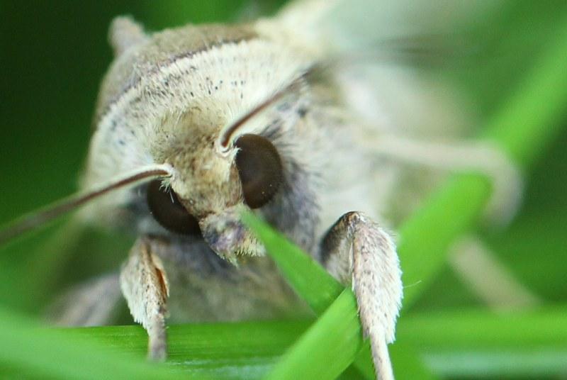 Armyworm moth face