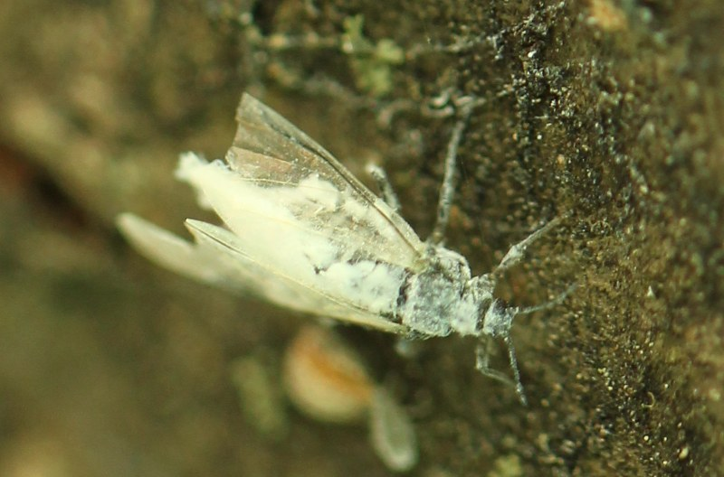 Winged woolly alder aphid