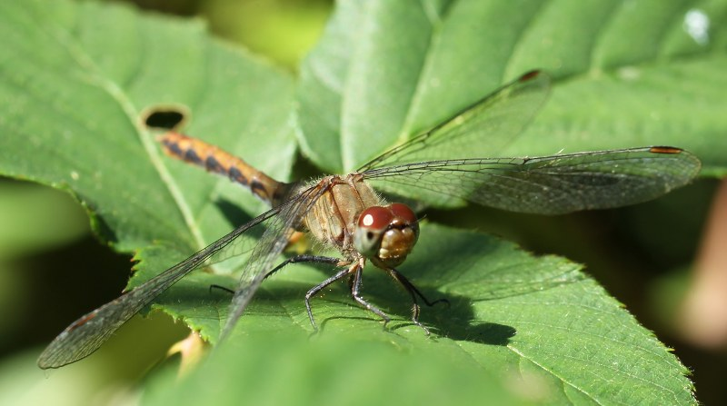 Female meadowhawk dragonfly