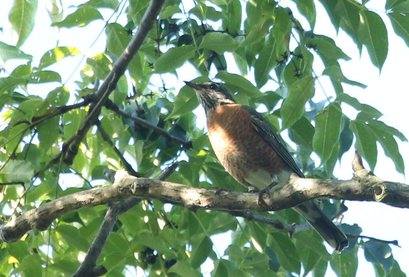 American robin in cork tree