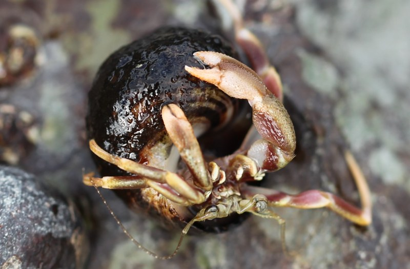 Long-clawed hermit crab
