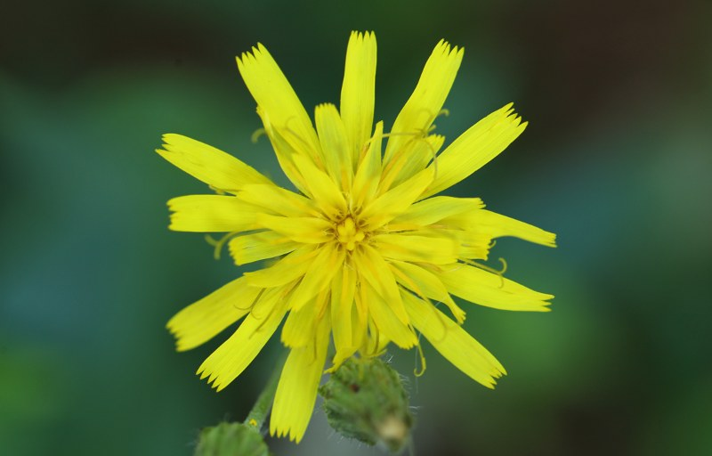 Panicled hawkweed flower