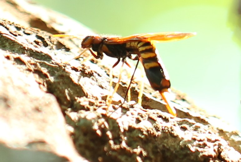 Pigeon tremex wasp laying eggs in zelkova tree