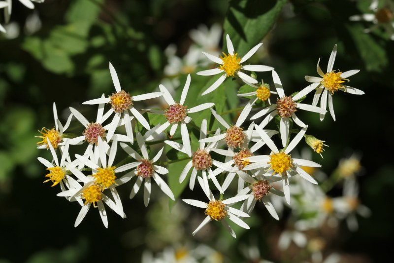 White wood aster flowers