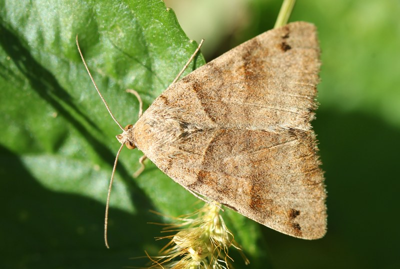 Possible clover looper moth