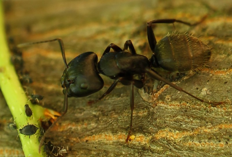 Black carpenter ant tending black bean aphid