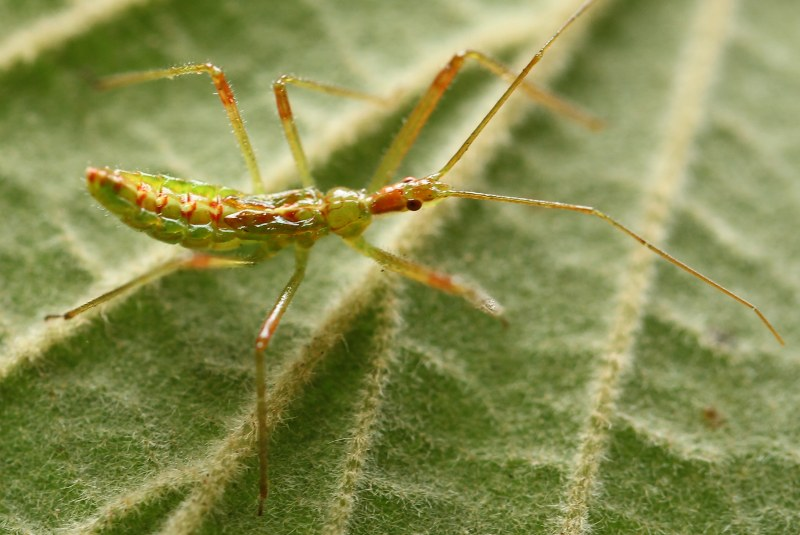 Pale green assassin bug nymph