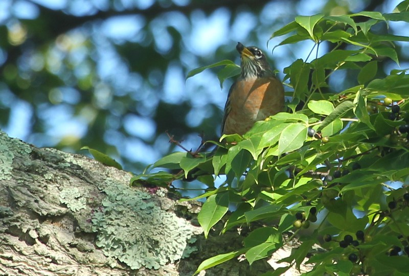American robin with cork tree fruit