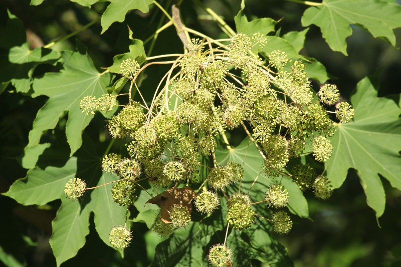 Castor-aralia tree in flower