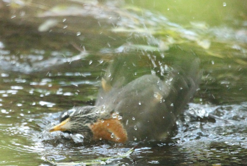 American robin bathing in a stream