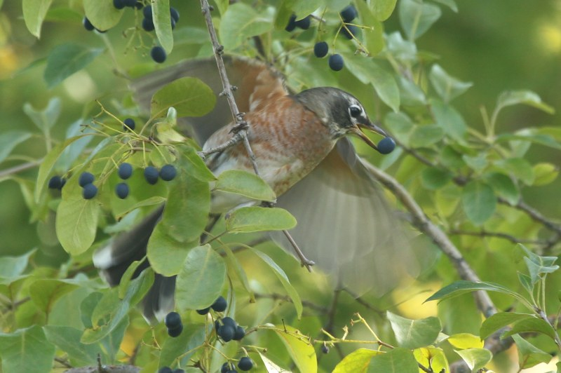 American robin eating Chinese fringetree fruit