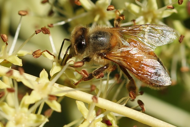 Honey bee on castor-aralia flower