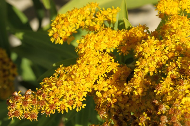 Seaside goldenrod flowers