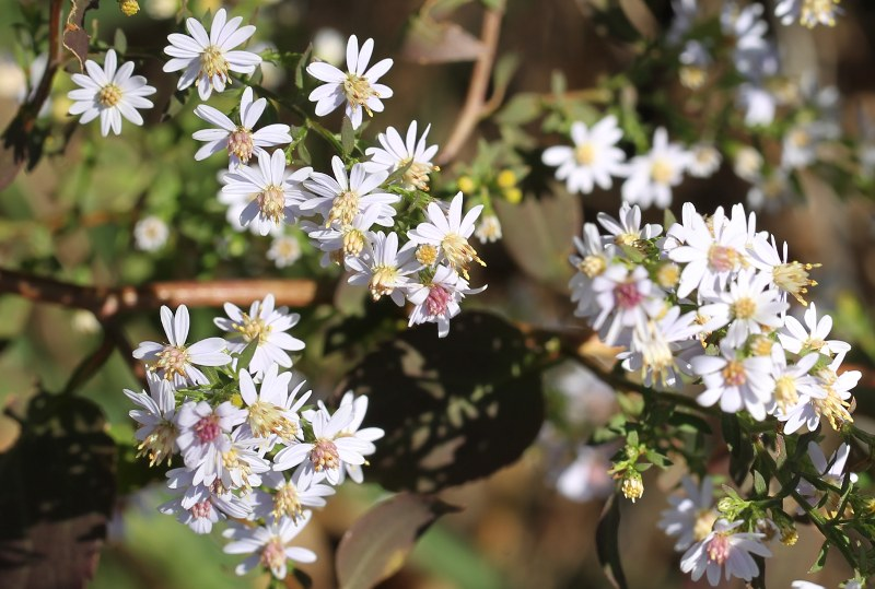 Blue wood aster flowers
