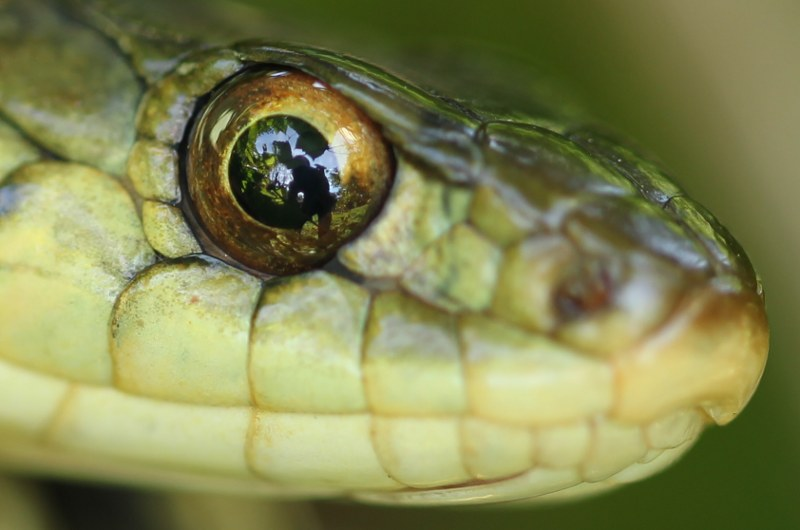 Eye of the garter snake