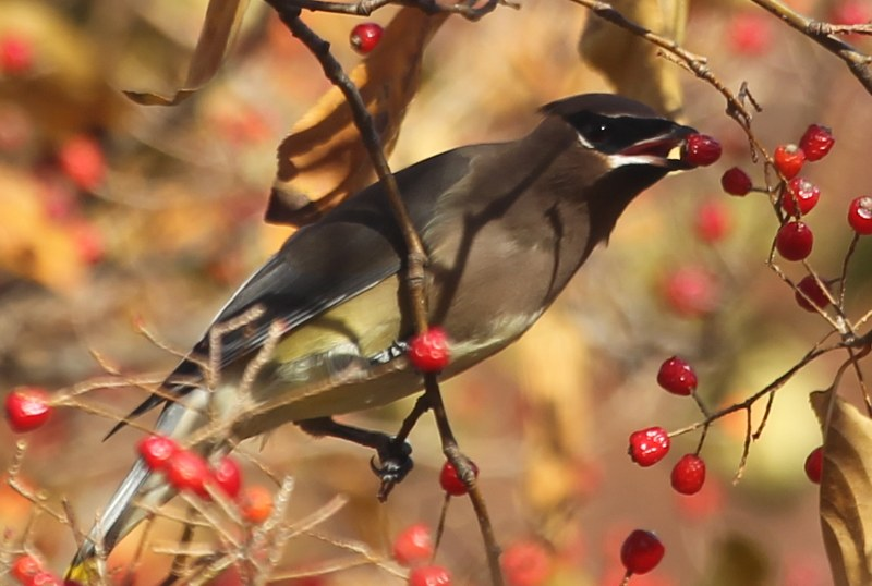 Cedar waxwing eating fruit of oriental photinia