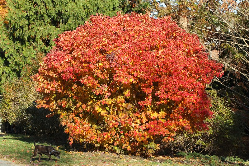 Fothergilla in fall color