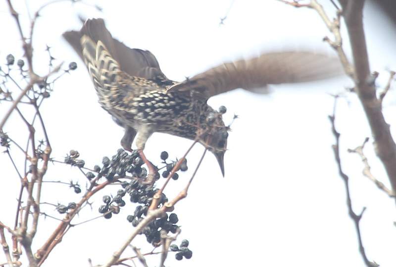 Starling eating the fruit of cork tree