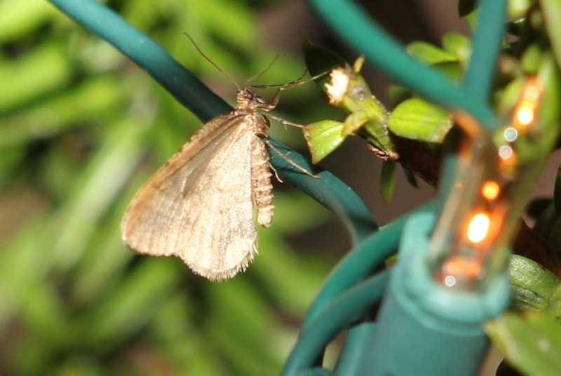 Winter moth on a shrub with Christmas lights